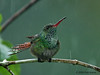 Rufous-tailed hummingbird in the rain, La Selva.