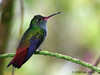 Rufous-tailed hummingbird, Tapir (old Butterfly Gardens).