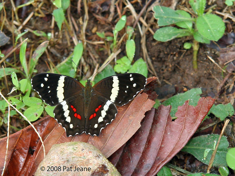 Banded Peacock, Tapir (old Butterfly Gardens).
