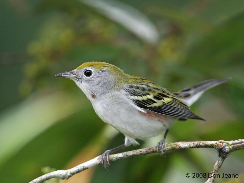 Chestnut-sided Warbler, La Selva.