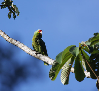 Red-lored Amazon (Amazona autumnalis) at Laguna del Lagarto