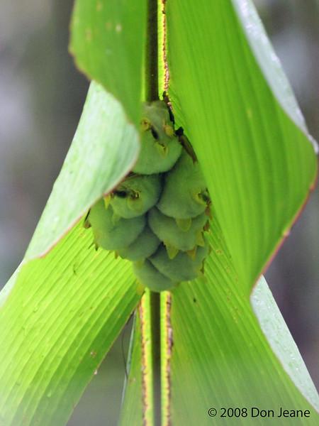 Honduran White bats (about the size of a quarter), Braulio Carrillo Natl Park.