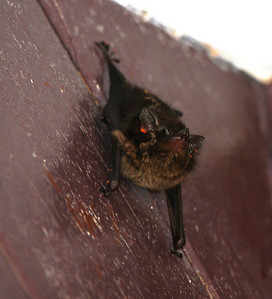 This little bat slept outside our room every day....anyone know what kind of bat it is?