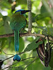 Blue-crowned Motmot, Hotel Bougainvillea.