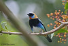 Golden-hooded Tanager, La Selva.