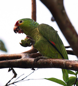 Red-lored Amazon (Amazona autumnalis) having breakfast at Laguna del Lagarto Lodge