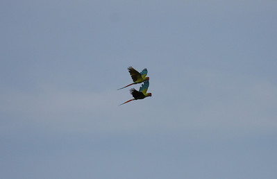 Great Green Macaws (Ara ambigua) in flight