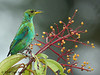 Green Honeycreeper, La Selva.