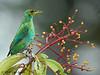 Green Honeycreeper, La Selva.
