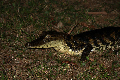 "Caiman ""Baby"" at Laguna del Lagarto Lodge"