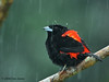 Passerini's Tanager in the rain, La Selva.