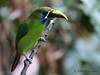 Emerald Toucanet, Cinchona.