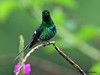 Green Thorntail hummingbird, Tapir (old Butterfly Gardens).