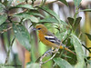 Female Baltimore Oriole, Cinchona.