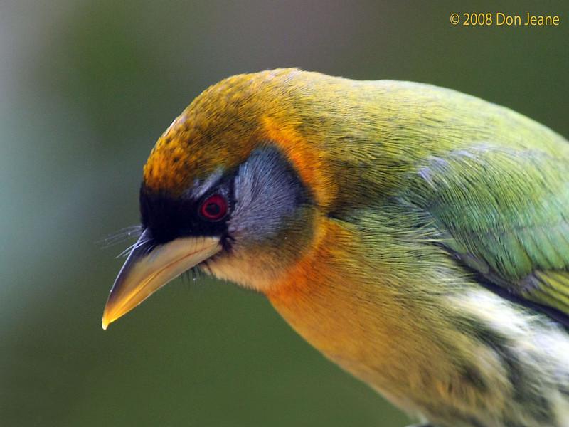 Female Red-headed Barbet, Cinchona.
