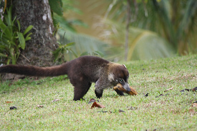 Coati with banana...yummy!