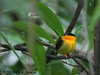 Orange-collared Manakin, Carara Natl Park.