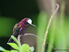 Snowcap hummingbird, Tapir (old Butterfly Gardens).