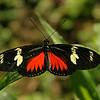 Costa Rica 2009: Paquare River - Doris Longwing (Nymphalidae: Heliconiinae: Heliconiini: Heliconius doris viridis)