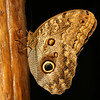 Costa Rica 2009: Paquare River - Dark Owl Butterfly (Nymphalidae: Satyrinae: Brassolini: Caligo sp.; probably C. brasiliensis sulanus)