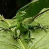 Costa Rica 2009: Paquare River - Green Basilisk (Corytophanidae:  Basiliscus basiliscus) juvenile