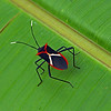 Costa Rica 2009: Paquare River - Heliconia Bug (Coreidae: Coreinae: Aniscoscelini: Leptoscelis tricolor)