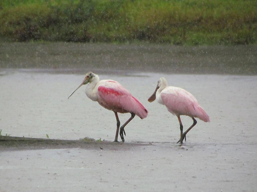 Roseate Spoonbills from the boat during the rain