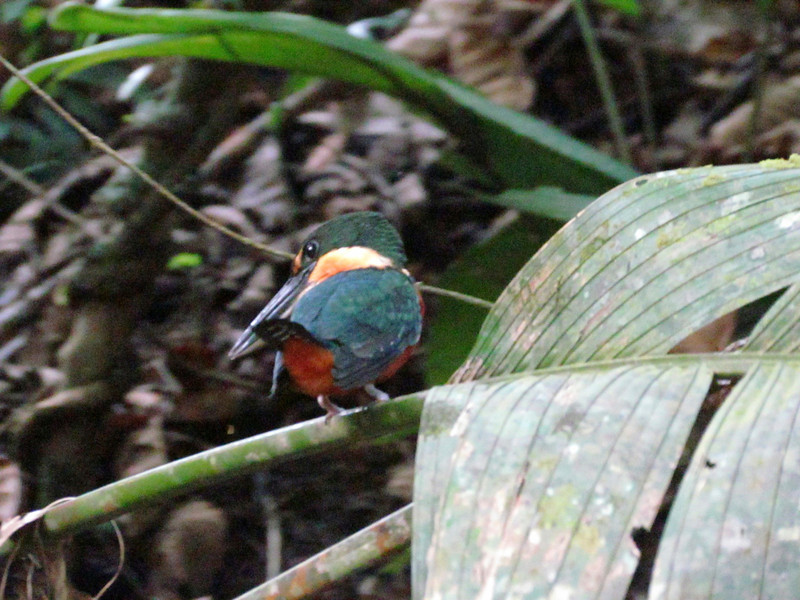 Green -and-rufous Kingfisher