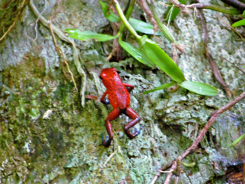 Poisonous Tree Frog
