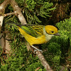 CR2010 Las Cruces - Silver-throated Tanager (Tangara icterocephala)_2174