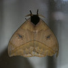CR2010 Las Cruces - Saturnid moth on a window pane_2126