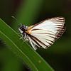 Costa Rica 2010: Las Cruces - Veined White Skipper (Hesperiidae: Pyrginae: Pyrgini: Heliopetes arsalte )