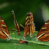 Costa Rica 2010: Las Cruces - Heraldica Clearwings (Nymphalidae: Danainae: Ithomiini: Ithomia heraldica)