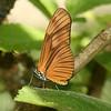 Costa Rica 2010: Las Cruces - Aliphera or Fine-lined Longwing (Nymphalidae: Heliconiinae: Heliconiini: Eueides aliphera gracilis)