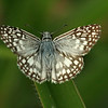 Costa Rica: Las Cruces - Orcus or Tropical Checkered-Skipper (Hesperiidae: Pyrginae: Pyrgus sp.; probably P. orcus, possibly P. oileus)