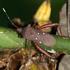 Costa Rica: Las Cruces - Leaf-footed or Big Legged Bug (Coreidae: Coreinae: Anisoscelini: Leptoscelis quadrisignatus)
