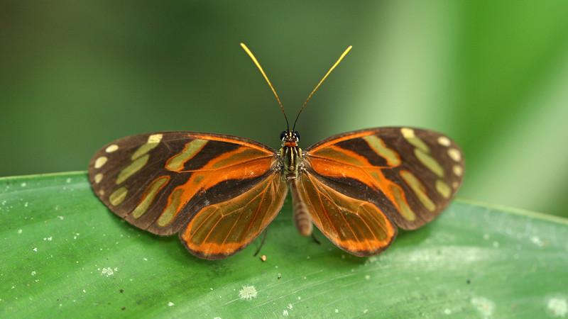 Costa Rica 2010: Las Cruces - Heraldica Clearwing (Nymphalidae: Danainae: Ithomiini: Ithomia heraldica)