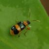 Costa Rica 2010: Las Cruces - Cucumber Beetle (Chrysomelidae: Galerucinae: Luperini: Diabrotica sp.)