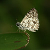 Costa Rica 2010:  Las Cruces - Orcus Checkered Skipper (Hesperiidae: Pyrginae: Pyrgini: Pyrgus orcus; possibly P. oileus)