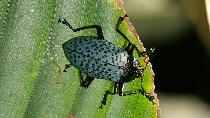Costa Rica 2010: Las Cruces - Pleasing Fungus Beetle (Erotylidae: Erotylinae: Erotylini: Gibbifer sp.; probably G. impressopunctatus)