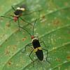 Costa Rica 2010: Las Cruces - Coreid Bugs (Coreidae: Coreinae: Hypselonotini: Hypselonotus atratus)