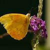 Costa Rica 2010: Las Cruces - Orange-barred Sulphur (Pieridae: Coliadinae: Phoebis philea philea)