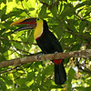 Costa Rica 2010: Las Cruces - Chestnut-mandibled Toucan (Ramphastos swainsonii)