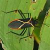 Costa Rica 2010: Heliconia Bug (Coreidae: Coreinae: Aniscoscelini: Leptoscelis sp.; probably L. tricolor)