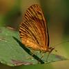 Costa Rica 2010: Las Cruces - Black-bordered Crescent (Nymphalidae: Nymphalinae: Melitaeini: Tegosa anieta anieta)