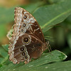 Costa Rica 2010: Las Cruces - Helenor Morpho (Nymphalidae: Satyrinae: Morphini: Morpho helenor marinita)