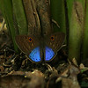 Costa Rica 2010: Las Cruces - Blue-winged Eurybia (Riodinidae: Riodininae: Eurybiini: Eurybia lycisca)