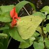 Costa Rica 2010: Las Cruces - Cloudless Sulphur (Pieridae: Coliadinae: Phoebis sennae marcellina)