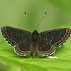 Costa Rica 2010: Las Cruces - Barnes' or Hermodora Metalmark (Riodiidae: Euselasiinae: Detritivora barnesi or D. hermadora)