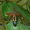 Costa Rica: Las Cruces - Wasp Moth (Erebidae: Arctiinae: Ctenuchini: Isanthrene crabroniformis)